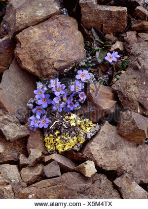 Alaska. Forget-Me-Nots nestled in Alpine rocks and lichen.Igloo Mountain, Denali National Park. - Stock Photo