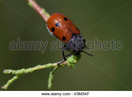 A lady bug covered with pollen and dew perches in a plant in Los Alcornocales Natural Park, Cadiz province, Andalusia, Spain - Stock Photo
