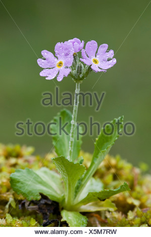 Bird's-eye Primrose (Primula farinosa), Pillberg, Tyrol, Austria, Europe - Stock Photo