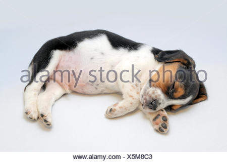 Cute tricolor beagle puppy sleeping on the white background - Stock Photo
