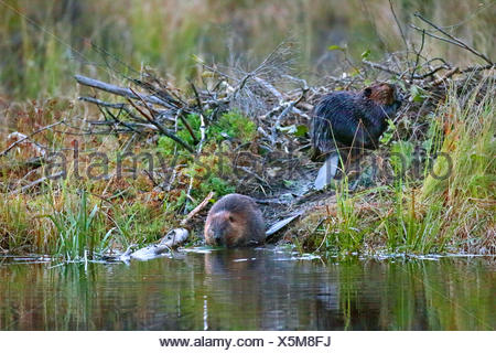 North American beaver, Canadian beaver (Castor canadensis), pair sits at the beaver lodge, Canada, Ontario, Algonquin Provincial Park - Stock Photo