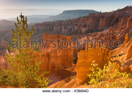 Limber pine (Pinus flexilis), growing on the edge of the amphitheatre in Bryce Canyon together with American aspen, Populus tremuloides, USA, Utah, Bryce Canyon National Park, Colorado Plateau - Stock Photo