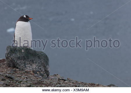 A gentoo penguin, Pygoscelis papua, perched atop a rock in the rookery on Danco Island. - Stock Photo