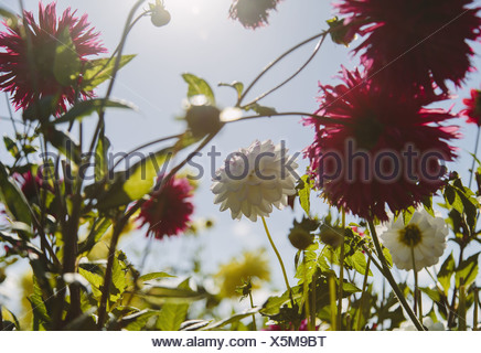 Seattle Washington USA Blooming red and white dahliflowers in garden - Stock Photo