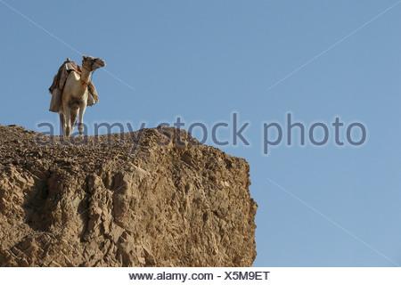 Egypt, Sinai, Dahab, lone camel in the desert - Stock Photo