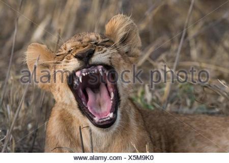 A lion cub, Panthera leo, yawning. - Stock Photo