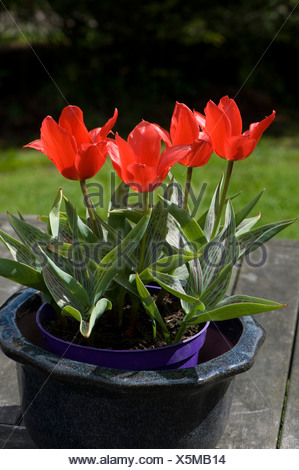 Tulips 'Red Riding Hood' in floor in a pot - Stock Photo