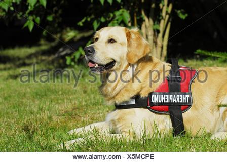 Golden Retriever on meadow - Stock Photo