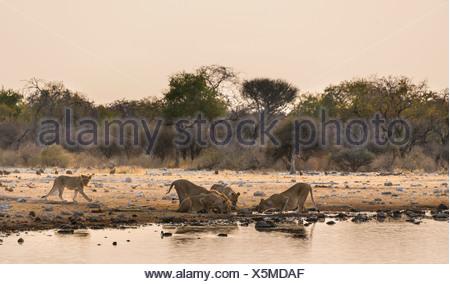 Pride of lions (Panthera leo) drinking at the Klein Namutoni waterhole, Etosha National Park, Namibia - Stock Photo