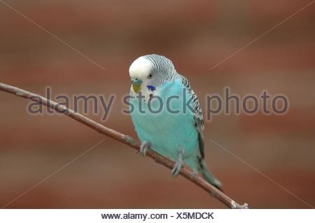 blue budgie - Stock Photo