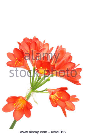 Red amaryllis on white. - Stock Photo