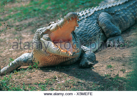 Australia. Wildlife. Saltwater Crocodile. Crocodylus porosus. - Stock Photo