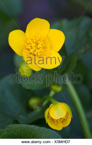 Kingcup, Marsh Marigold (Caltha palustris) in the Eyach Valley, Northern Black Forest, Baden-Wuerttemberg, Germany, Europe - Stock Photo
