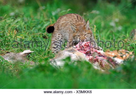 Eurasian lynx (Lynx lynx), feeds on female fallow deer - Stock Photo