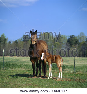 TWO DAY OLD COLT STANDING BESIDE QUARTER HORSE MARE GEORGIA - Stock Photo