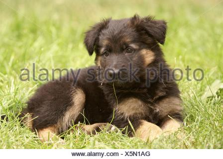 old german sheepdog puppy - Stock Photo