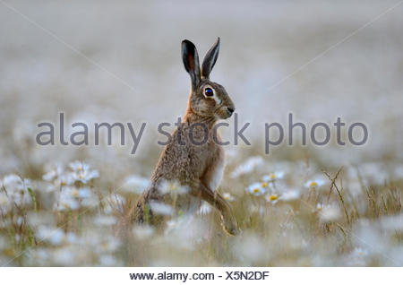 Brown Hare Lepus europaeus in Ox-eye Daisies Norfolk summer - Stock Photo