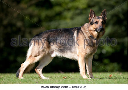 German Shepherd Dog, Alsatian, Standing in park, UK, alert, looking - Stock Photo