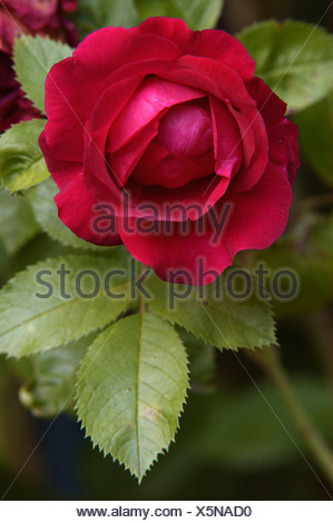 Rose blossom (Rosa spec.) - Stock Photo