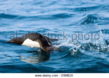 Adult thick-billed murre (Uria lomvia) taking off from surface of sea near its nesting cliff Svalbard Archipelago Arctic Norway - Stock Photo