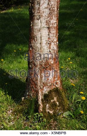 Swamp birch - Stock Photo
