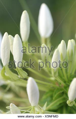Cleome spinosa - Stock Photo