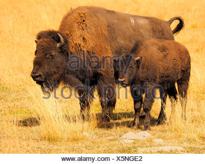 American bison, buffalo (Bison bison), female with calf, USA, Wyoming, Yellowstone National Park - Stock Photo