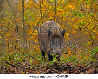 wild boar, pig, wild boar (Sus scrofa), wild sow standing in a shrubbery in autumn, Germany, Baden-Wuerttemberg - Stock Photo