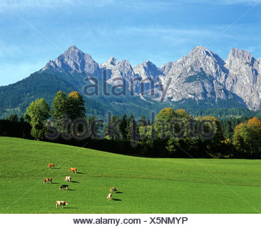 Cow pastures with the Tennengebirge (Tennen Range) in background, Salzburger Land, Austria, Europe - Stock Photo