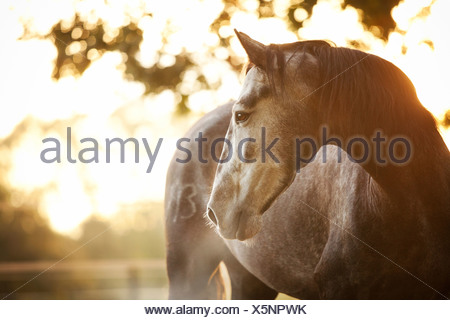PRE gelding, dapple-grey, standing in morning fog with backlighting - Stock Photo