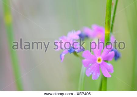 Bird's-eye primrose Primula farinosa, blossoms, close-up, - Stock Photo