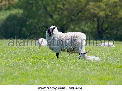 Portrait of sheep and lamb in sunny green spring field - Stock Photo