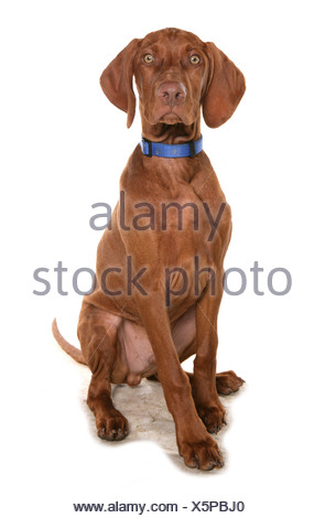 Domestic Dog, Short-haired Hungarian Vizsla, male puppy, sitting, with collar - Stock Photo
