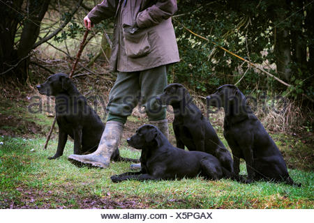 A man holding a beater's stick with four black labrador gundogs, out on a shoot. - Stock Photo