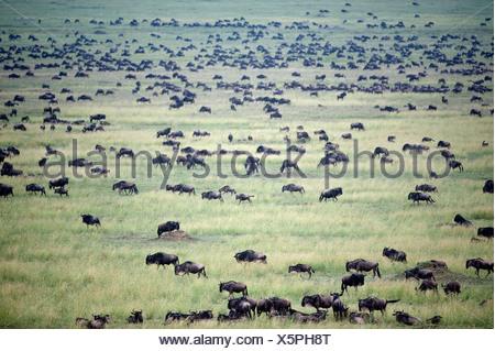 Massing herds White-Bearded wildebeest Connochaetes taurinus albojubatus on migration Ndutu area Ngorongoro Conservation - Stock Photo