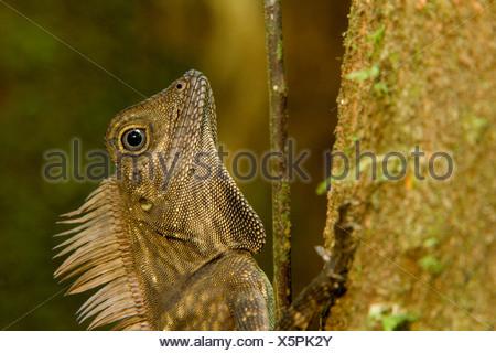 Blue-eyed Angle-headed Lizard (Gonocephalus liogaster) close-up. - Stock Photo