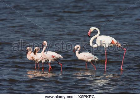 Flamingos  big flamingo  dwarf-flamingo  water - Stock Photo