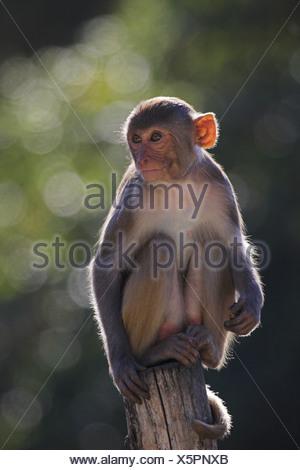 rhesus monkey, rhesus macacque (Macaca mulatta), sitting on a pile - Stock Photo