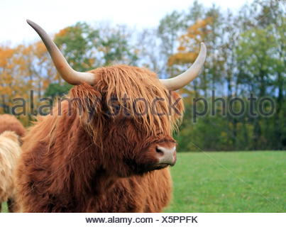 Highland cow portrait by autumn day - Stock Photo