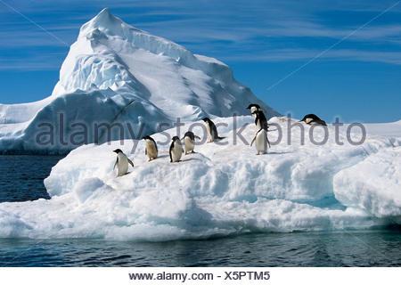 Adelie Penguins Jump From Iceberg Paulet Is Antarctic Summer - Stock Photo