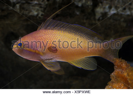 jewel lyretail anthia, pseudanthias squamipinnis - Stock Photo