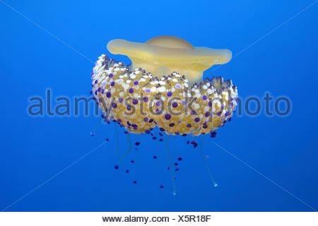 Fried egg jelly fish (Cotylorhiza tuberculata) Mediterranean Sea. - Stock Photo