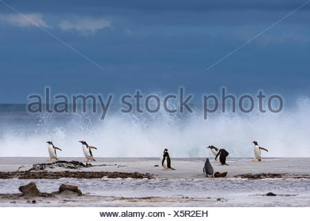 Gentoo penguins, Pygoscelis papua, on a sandy beach. - Stock Photo