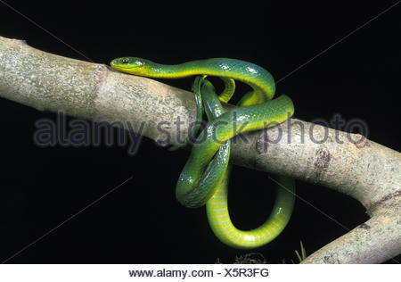 Green Snake, opheodrys major, Adult on Branch against Black Background - Stock Photo