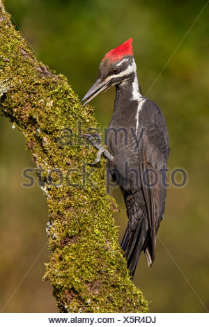A Pileated woodpecker (Dryocopus pileatus) perched on a mossy branch in Victoria, Vancouver Island, British Columbia, Canada - Stock Photo
