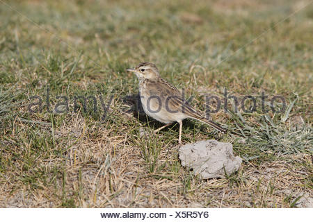 Grassland Pipit (Anthus cinnamomeus) adult, walking in low grass, Lake Abijatta, Abijatta-Shalla N.P., Oromia Region, Ethiopia, - Stock Photo