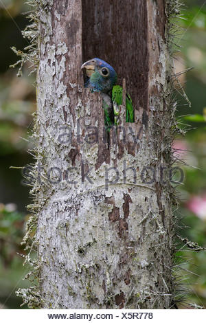 Blue-headed Parrot (Pionus menstruus) perched on a branch in the Amazon in Peru. - Stock Photo