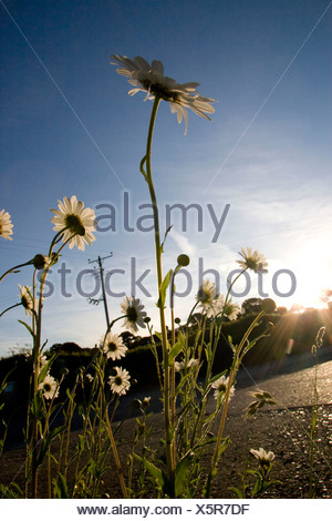 Leucanthemum vulgare, Ox-eye daisy, White flower subject, - Stock Photo