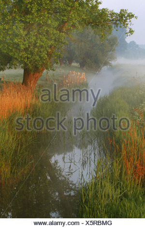 reed grass, common reed (Phragmites communis, Phragmites australis), creek in ground fog, Belgium, Langemeersen Nature Reserve - Stock Photo