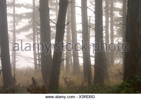 Two deer in misty woods - Stock Photo
